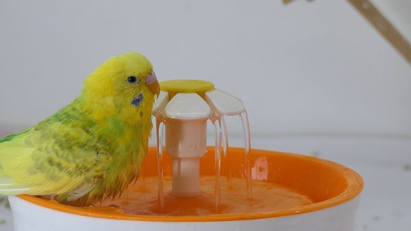 Everything About Budgie Fountain Bathing: Why is it easy to bathe using a fountain?