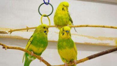 HOW MANY BUDGIES CAN YOU OWN The noise level unbearable for humans