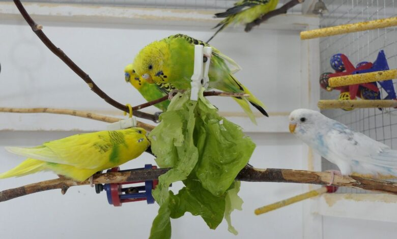 How to get Budgies to eat Fruits and Vegetables First-hand experiences!