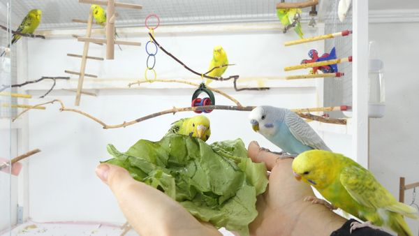 How to get Budgies to eat Fruits and Vegetables