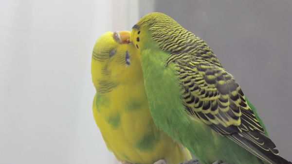 Can a Male and Female Budgies Live Together? Everything you should know!