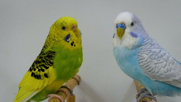 Can a Male and Female Budgies Live Together?