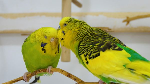 Can a Tamed Budgie Help You Train Another One?