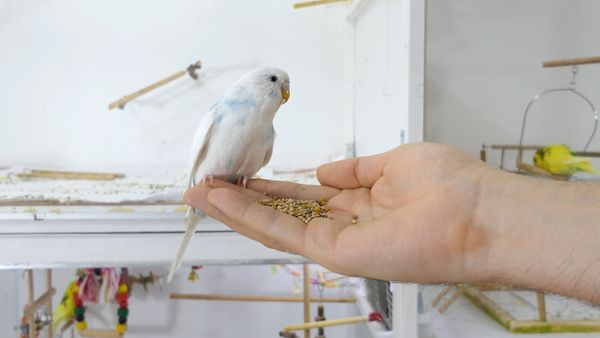 Does Budgie Get Attached To Their Owners? Hand taming a Pet that HATES YOU!
