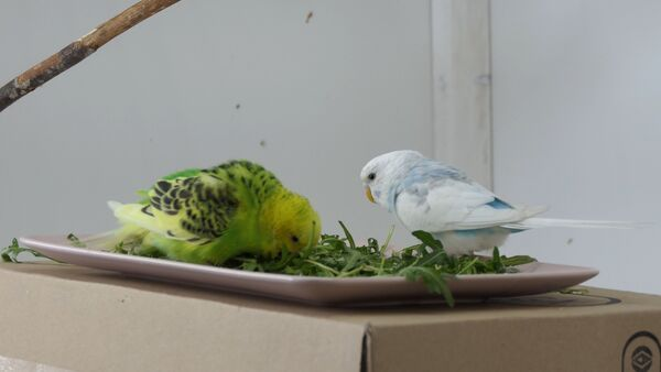 How to get Budgies to eat Fruits and Vegetables? First-hand experiences!