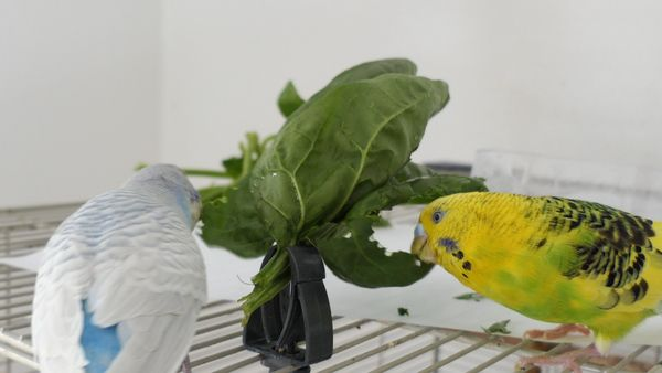 budgies can eat spinach