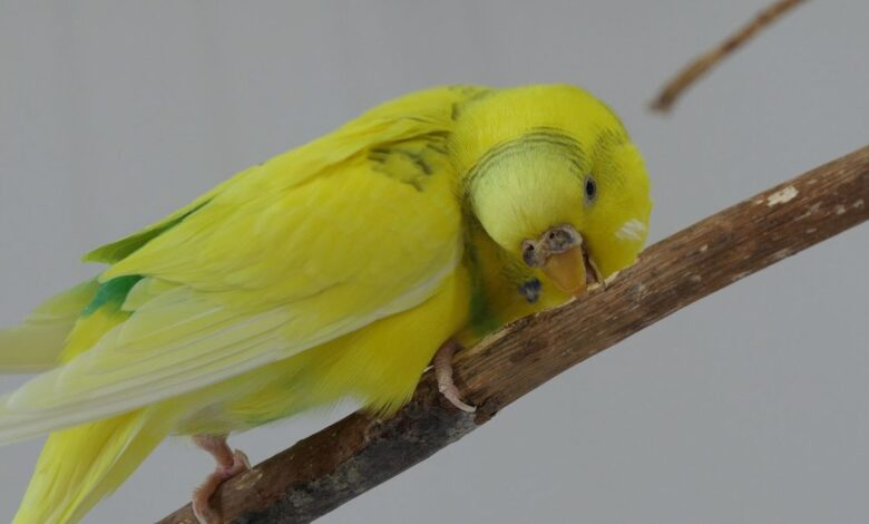 Safe Wood for Perches and Toys Budgie's Happy Life